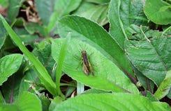 Couples du ` s de sauterelle faisant l'amour sur la feuille verte vibrante, haut fermé Photos libres de droits