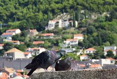 Couples enthousiastes de pigeon photographie stock