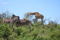 Couples et girafe de zèbre photo libre de droits