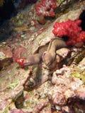 Couples géants d'anguille de Moray Photo libre de droits