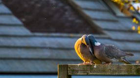 Couples intimes mêmes des ramiers communs ensemble, saison d'accouplement d'oiseau pendant le ressort, oiseaux communs de l'Europ photos libres de droits