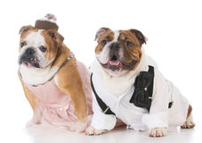 couples masculins et femelles de chien Photo libre de droits