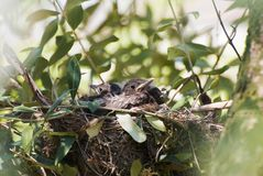 Couples of new born blackbirds Royalty Free Stock Image