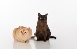 Couples noirs et lumineux de chats birmans de Brown D'isolement sur le fond blanc Image libre de droits