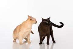 Couples noirs et lumineux de chats birmans de Brown D'isolement sur le fond blanc Photographie stock libre de droits