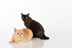 Couples noirs et lumineux de chats birmans de Brown D'isolement sur le fond blanc Images libres de droits