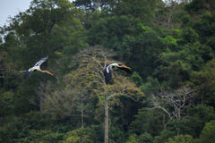 Couples  Painted Stork  bird flying against green natural wild. Couples  Painted Stork   bird flying against green natural wild Royalty Free Stock Photos
