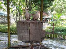 The couple of pegion at zoo sondokoro tasikmadu solo Royalty Free Stock Photo