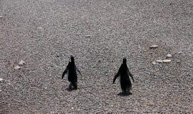 Couples ridicules des pingouins sur une côte en pierre. Image libre de droits