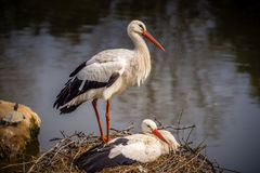 Couples of storks Royalty Free Stock Photography