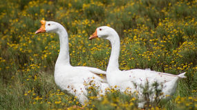 Couples stroll. This white goose couple strolls through the wildflowers Royalty Free Stock Photos
