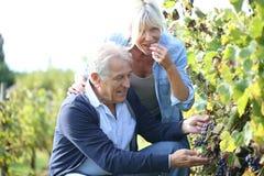 Couples supérieurs heureux dans le vignoble Photo stock
