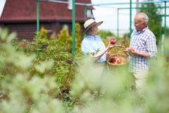 Couples supérieurs moissonnant des fruits et légumes dans le jardin photo stock