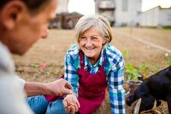 Couples supérieurs plantant des oignons dans leur jardin dans le sol Photos stock