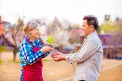 Couples supérieurs tenant la jeune plante dans leur jardin, nature de ressort Photographie stock libre de droits