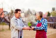 Couples supérieurs tenant la jeune plante dans leur jardin, nature de ressort Photographie stock