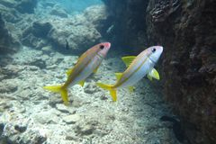 Couples tropicaux de poissons jawfish Images stock