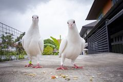 couples of white feather speed racing pigeon feeding on home loft roof royalty free stock photos