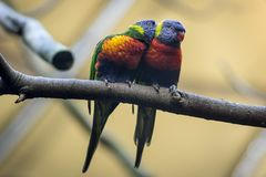 Couplez l'amant de l'Australie sauvage de perroquets ou de lorikeets d'arc-en-ciel Image stock