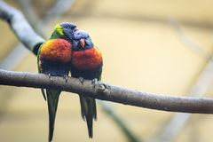 Couplez l'amant des perroquets ou des lorikeets sauvages d'arc-en-ciel images libres de droits