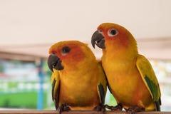 Couplez l'amour jaune de perroquet de conure de Sun et prenez soin d'ensemble, Images stock