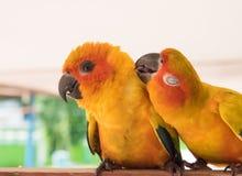 Couplez l'amour jaune de perroquet de conure de Sun et prenez soin d'ensemble, Photographie stock libre de droits
