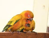 Couplez l'amour jaune de perroquet de conure de Sun et prenez soin d'ensemble, Image libre de droits