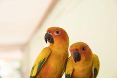 Couplez l'amour jaune de perroquet de conure de Sun et prenez soin d'ensemble, Photographie stock