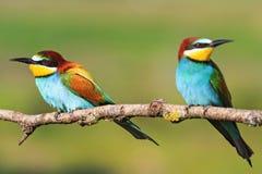 Couplez l'oiseau coloré avec de belles plumes se reposant sur une branche Image stock