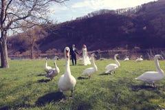 Couplez la marche en parc entouré par des cygnes Image stock