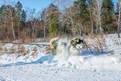 Couplez le chien de traîneau dans le harnais creusé dans la neige tandis que joggin Photo stock