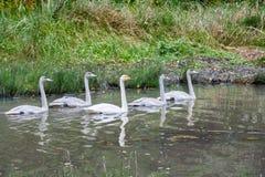 Couplez les cygnes blancs nageant avec de jeunes jeunes cygnes sur la rivière en Finlande à l'été photo stock
