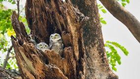Couplez les oiseaux qui vivent pendant que des familles sont situées dans les cavités des arbres avec un fond blanc Le jeune hibo photographie stock libre de droits