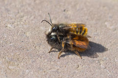 Coupling act in bumblebee family Royalty Free Stock Photos