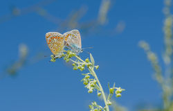 Coupling act in family of Common Blue butterfly Royalty Free Stock Photos