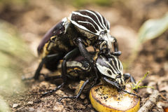 Coupling of beetles Royalty Free Stock Image