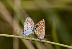 Coupling butterflies Stock Photo