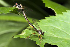 Coupling dragonflies on a green leaf Royalty Free Stock Images