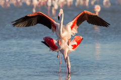 Coupling flamingos, Camargue Royalty Free Stock Images