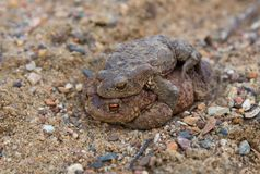 Coupling frogs on sand path Stock Photography