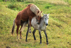 Coupling horses. Stock Images