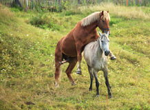 Coupling horses. Coupling horses in the village stock photo