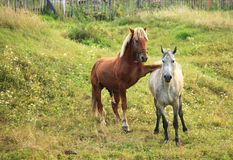 Coupling horses. Coupling horses in the village stock images