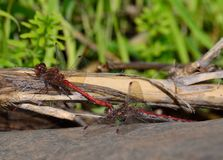 Coupling of red dragonflies. On cane stalk Stock Photo
