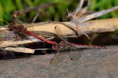 Coupling of red dragonflies. On cane stalk Stock Images
