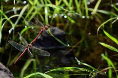 Coupling of red dragonflies. In flight and near water Royalty Free Stock Photo