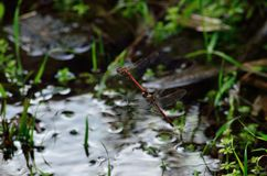 Coupling of red dragonflies. In flight and near water Royalty Free Stock Photos