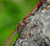Coupling of red dragonflies. Perched on the rock Stock Photography