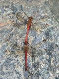 Coupling of red dragonflies. Perched on the rock Stock Image