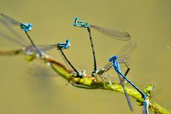 Coupling and reproduction blue dragonflies on the lake. So many pairs of blue dragonflies blend on the shore of the lake Royalty Free Stock Images